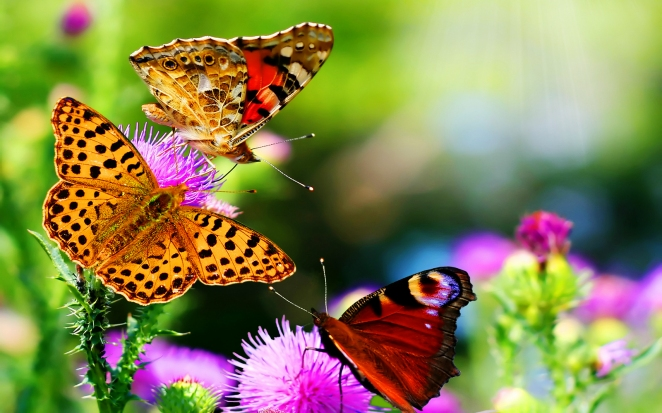 Butterfly_on_Purple_Flowers_HD_Nature_Wallpaper