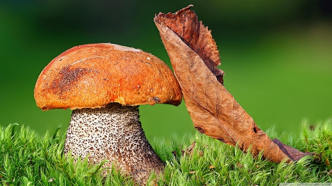 mushroom_3-wallpaper-1366x768